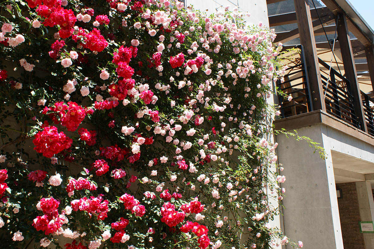 バラの香り漂う園内