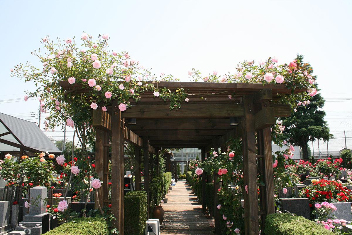 つる棚に伸びるバラが、夏、日陰を作ります