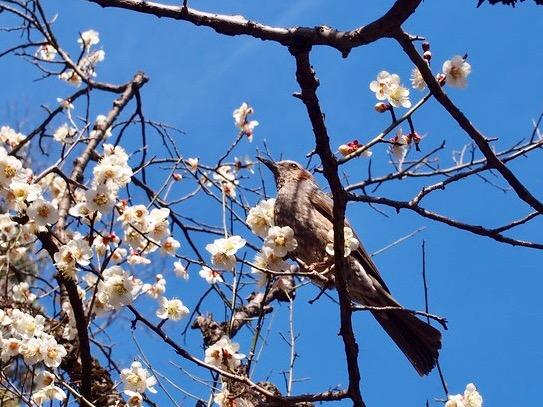 谷保天満宮と梅の花