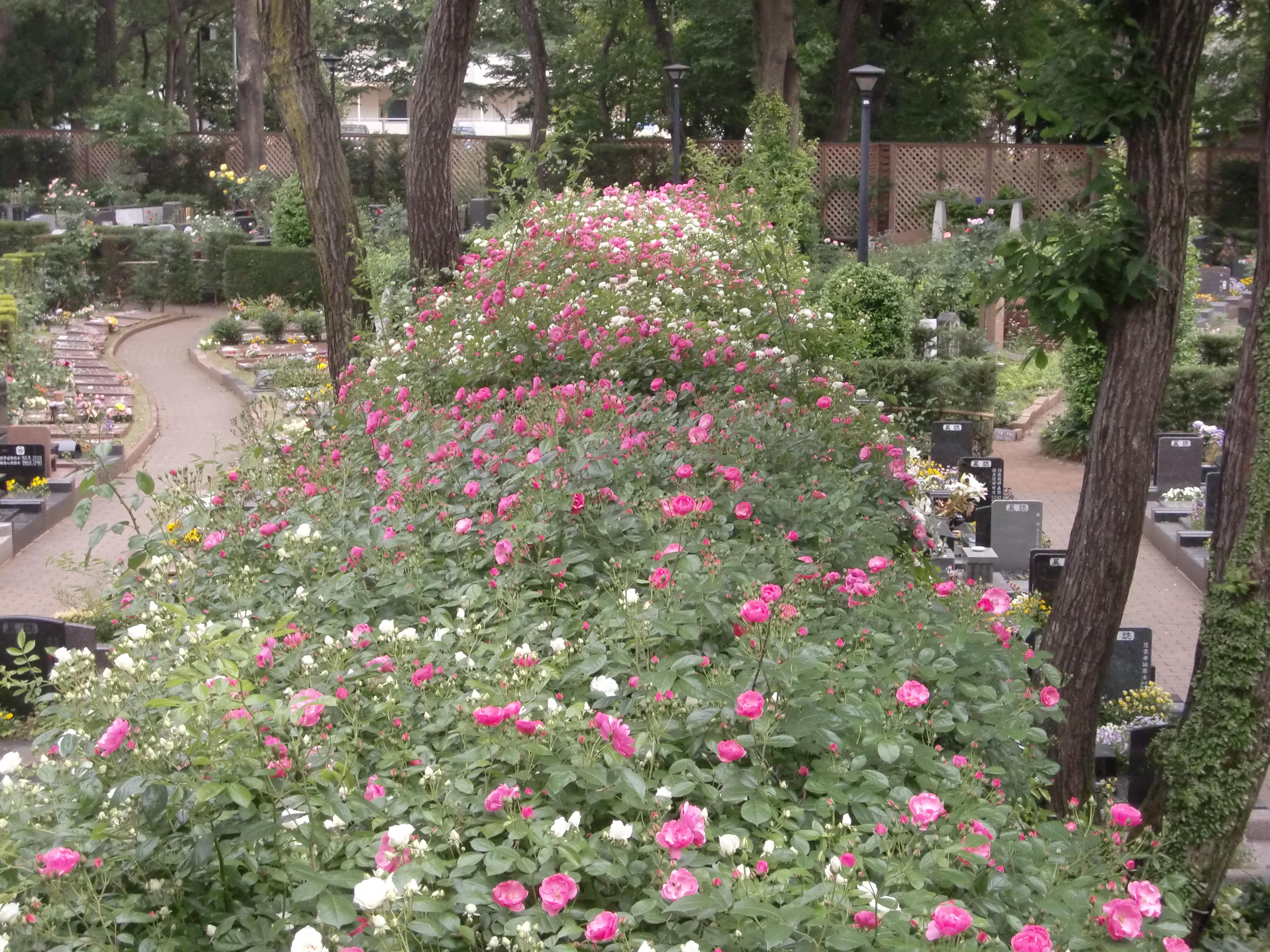 小平ふれあいパークのバラの開花状況