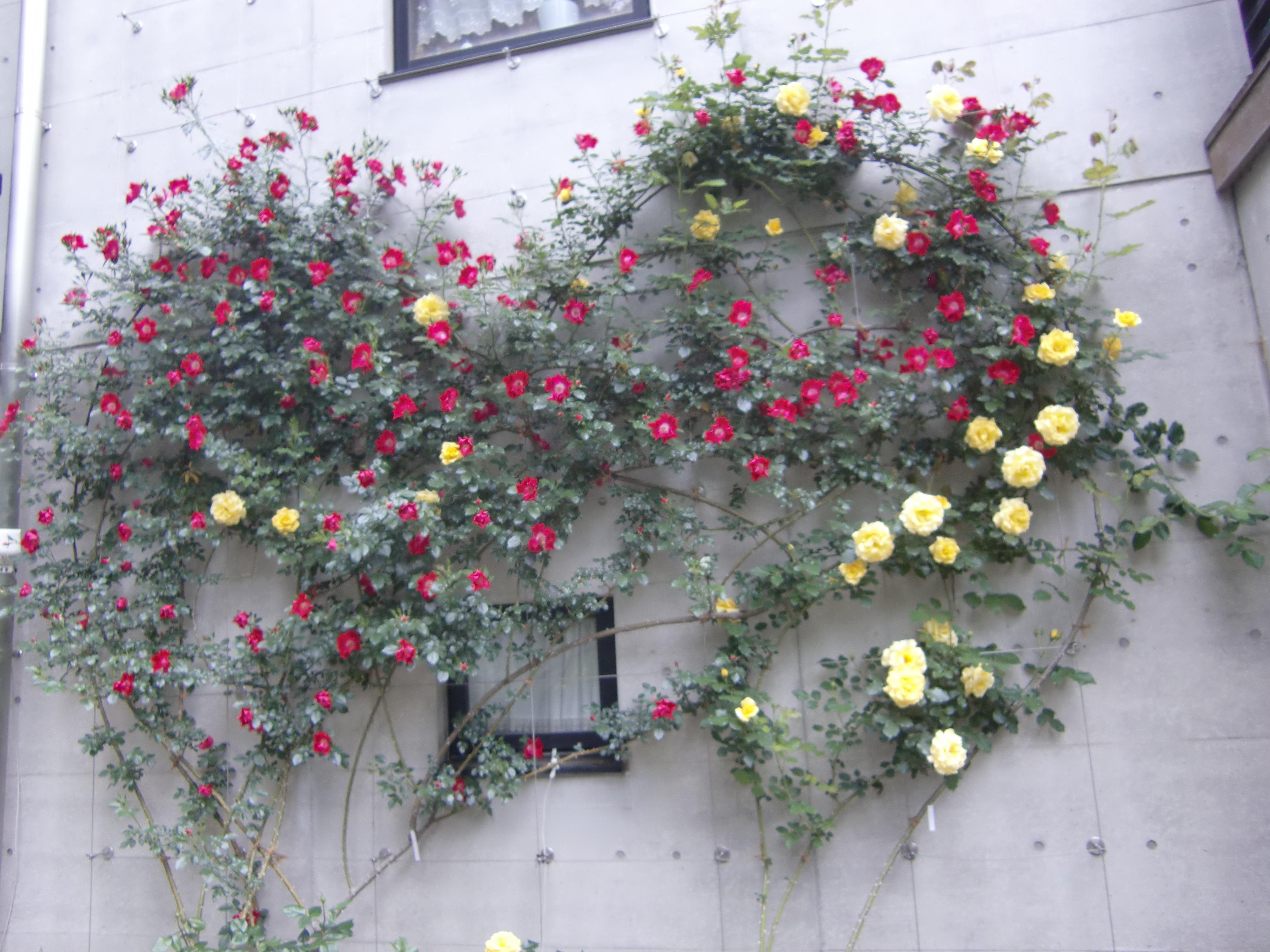 令和の開花