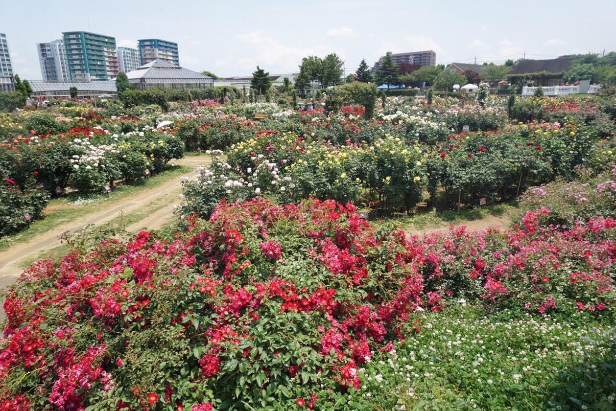 京成バラ園と八千代ふれあいパークの見学に行ってきました!!
