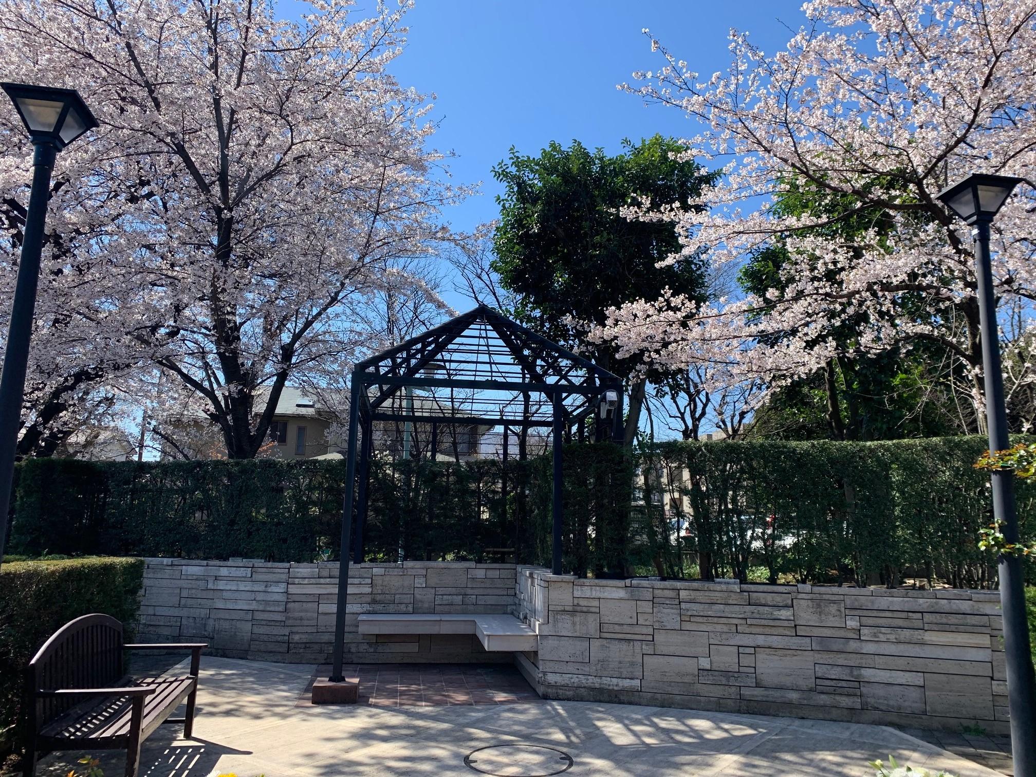 桜🌸の見頃