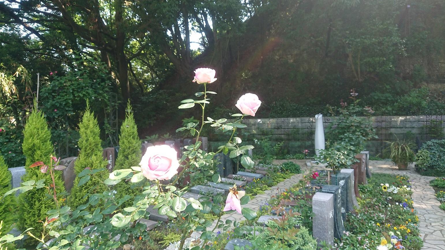 バラとイワタバコの花が咲きました  鎌倉やすらぎの杜