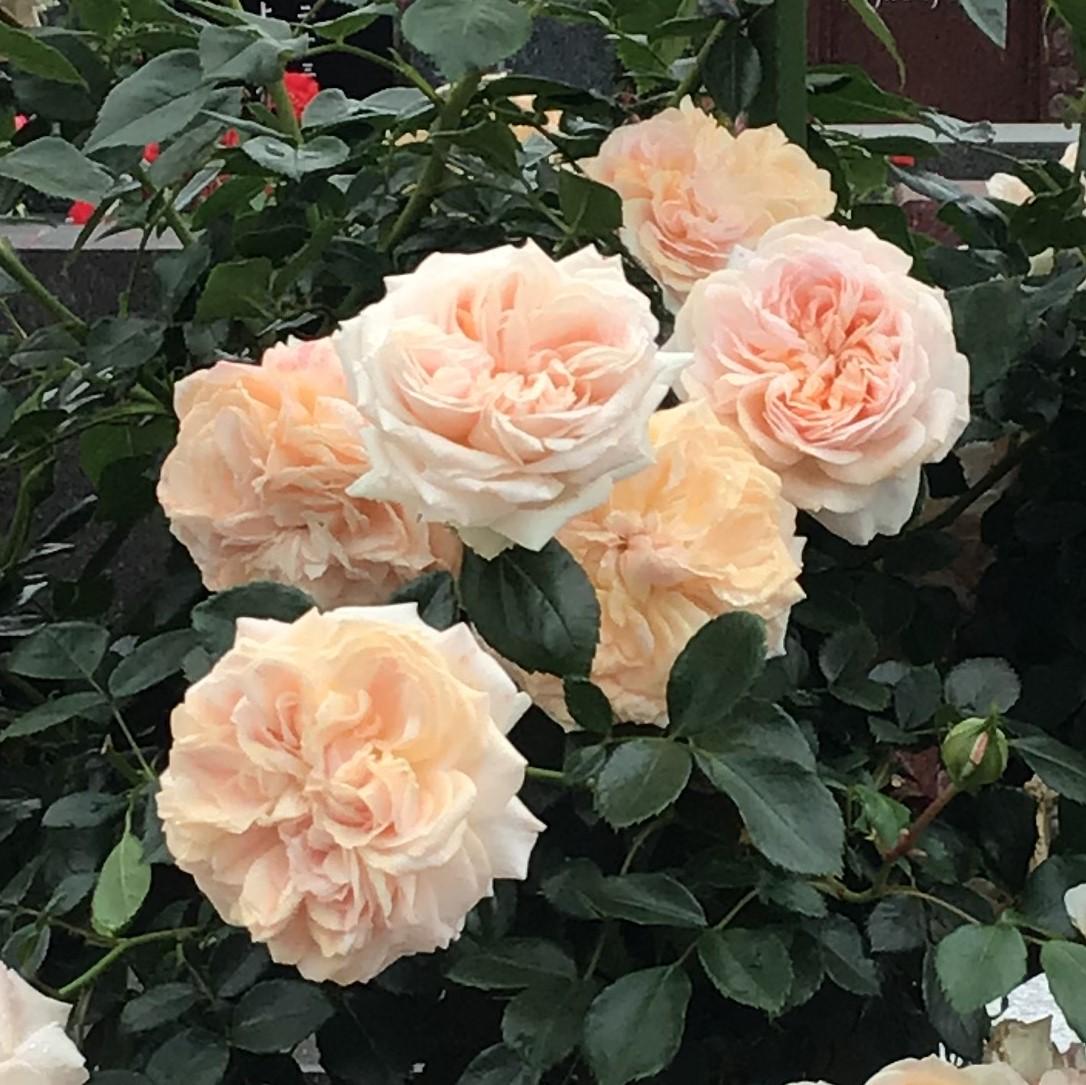 バラが綺麗に咲いております!