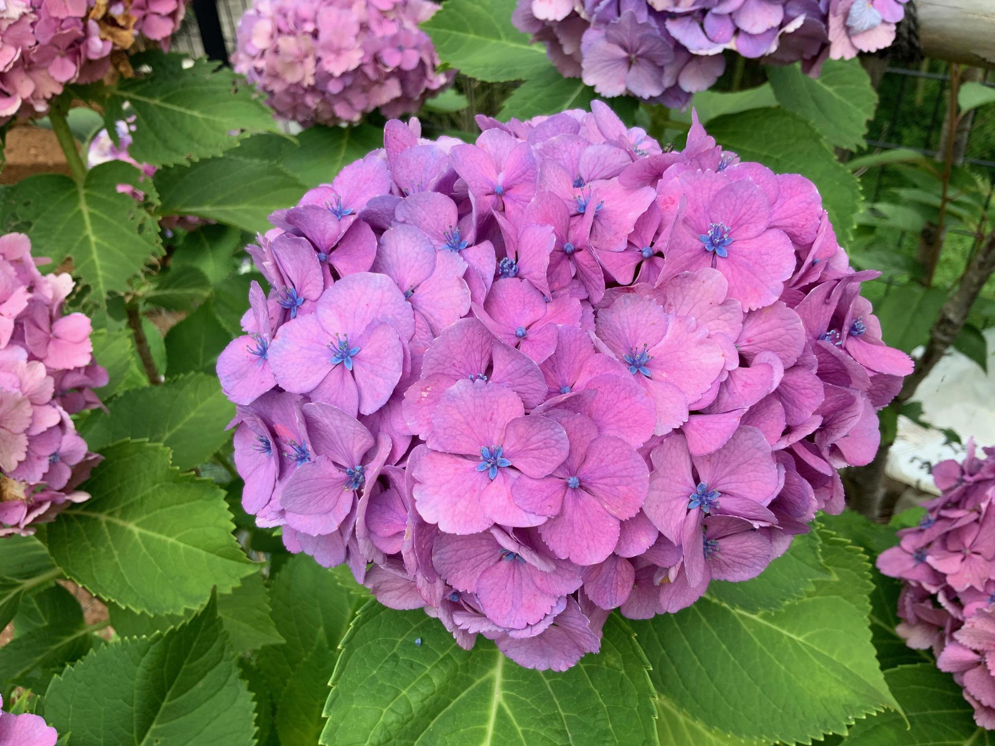 梅雨と紫陽花     都筑まどか霊園