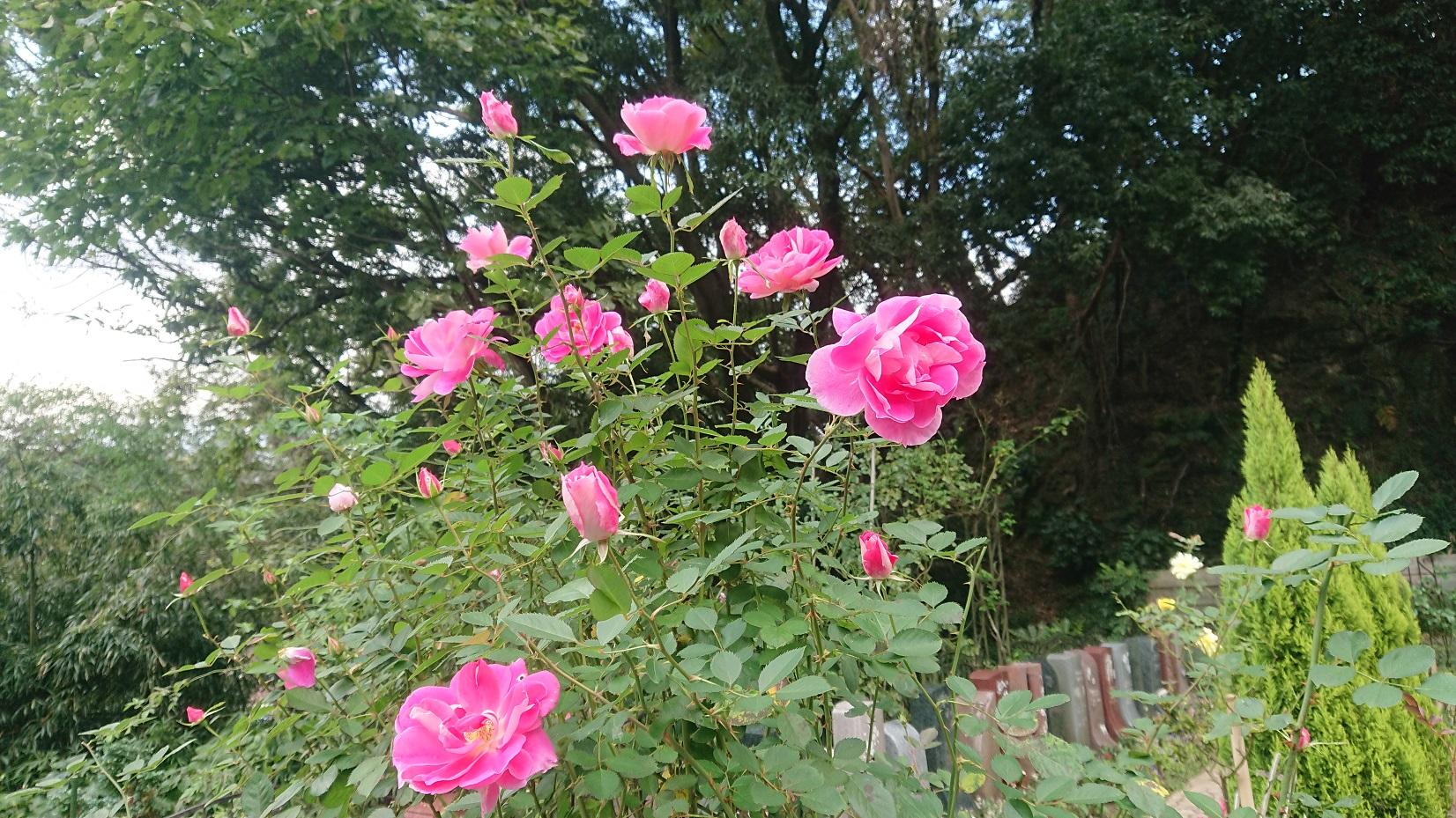 秋バラが開花  鎌倉やすらぎの杜