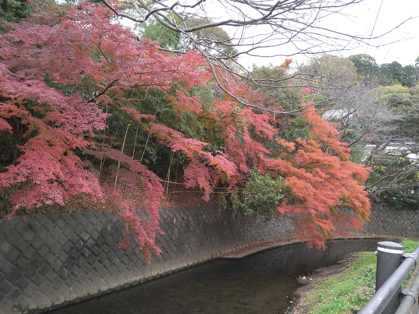 紅葉しています  鎌倉やすらぎの杜