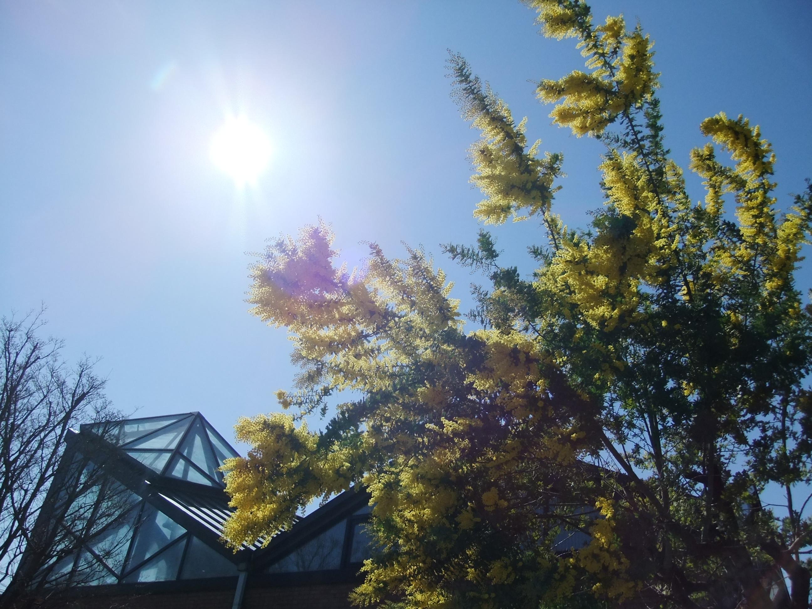 観察日記  ~ミモザの花も咲きました~