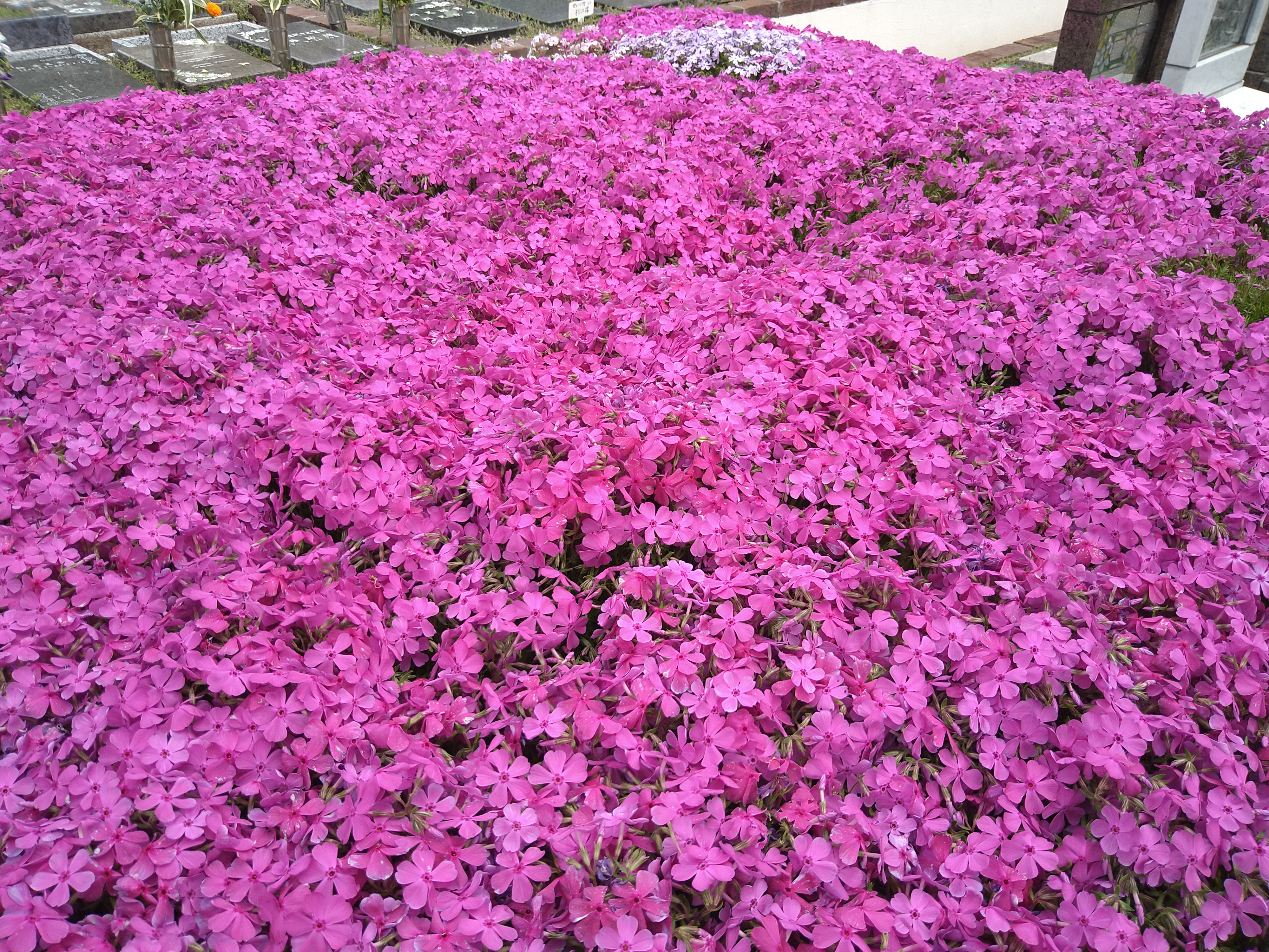 芝桜がもうすぐ満開   都筑まどか霊園