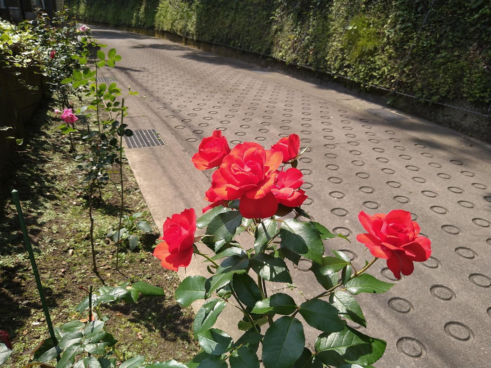 薔薇の花が満開です   鎌倉やすらぎの杜