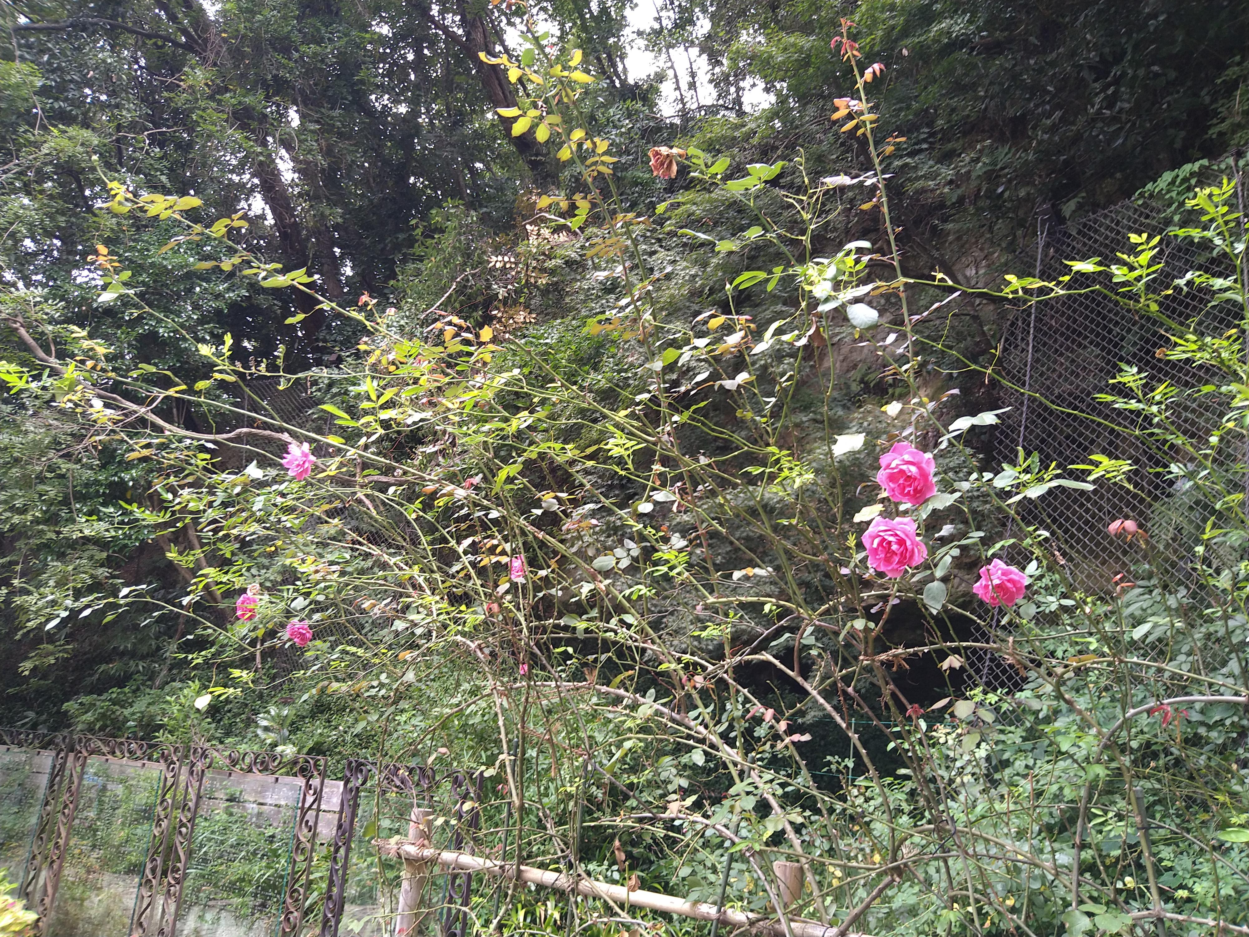 秋バラが咲いています  鎌倉やすらぎの杜